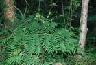 la feuille d'osmonde royale - Genevieve LAPOUX