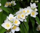Fleurs blanches - Michel BIDAULT