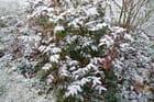 Fine neige sur le mahonia aquifolium - Jacqueline DUBOIS
