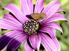 Aster et papillon - Huguette Roman
