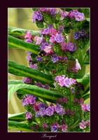 Echium 'Hybride de Roscoff'  - Serge AGOMBART