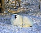 Loup blanc de l'Arctique - Annie LEROY