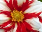 Gros plan sur le coeur d'un dahlia - Malou TROEL