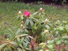 1ere fleurs de rhododendron