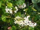 Petits bégonias blancs - Violette LUTZ