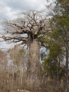 Baobab de Madagascar - Dilann Tours Madagascar