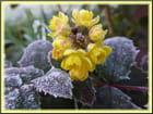 Mahonia aquifolium givré - Jacqueline DUBOIS