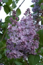 Lilas - Liliane JALLEY