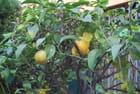 les citrons de Menton - Genevieve LAPOUX