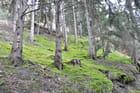 Forêt de mélèzes sur tapis de mousse - Claude GARNIER