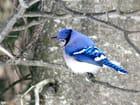 Le geai bleu en couleur par Yves FORGUES sur L'Internaute
