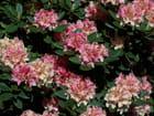 Rhododendron jaune et rose pâle par Joelle MILLET sur L'Internaute