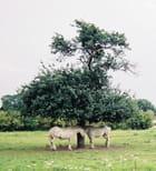 Conversation à l'ombre entre chevaux - Philippe TINCELIN