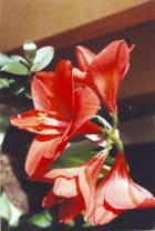 Amaryllis en fleurs par Valérie LACROIX sur L'Internaute