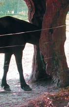 Un cheval timide... - Jean-marie BESLOT