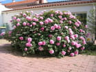 356 fleurs de pivoine