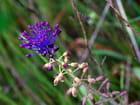 Muscari à toupet (plante sauvage) - Sylviane NATOLI
