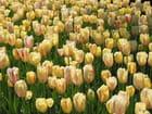 Tulipes jaunes (jardins de la crois - Jean-pierre MARRO
