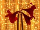 Amaryllis scintillantes -