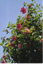 Hibiscus rose double - Violette LUTZ