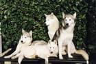 4 huskies