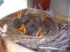 4 oisillons affamés