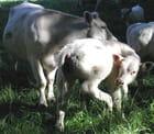 Veau et vache -