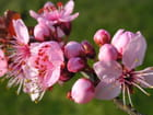 Fleurs de prunus - Nadine PROST -ROMAND