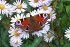 Papillon et asters - Bernard ENRICI