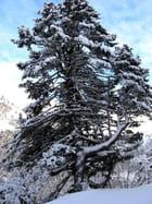 Arbre en neige méribel - Florence TERNISIEN