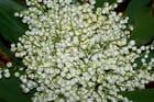 Muguet : fleur de mai par Marguerite LETT sur L'Internaute
