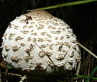 Chapeau de coulemelle par Annie-france PEREZ sur L'Internaute