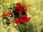Tulipe rouge - Jean-pierre MARRO