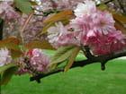 Fleurs de cerisier - Véronique TOULOUZE