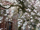 Magnolia for ever -too much !! - lorouet LOROUET