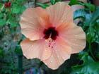 Fleur  d'hibiscus - Bernard GIULI