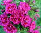 La vie en rose.... - Julien Roux