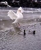 Un cygne accompagné de deux canards - David LAPLEAU