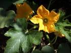 Fleurs de courgette - annick Reinhart Gutknecht