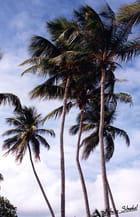 Sous les cocotiers - Patrice STROBEL