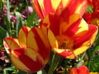 Tulipe orange et rouge par Jean-pierre MARRO sur L'Internaute