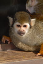 Le petit singe - Laurent DEWISPELAERE
