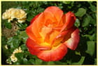 A rose is a rose is a rose - Philippe HORNUS