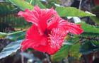 Fleur d'hibiscus -