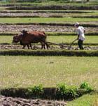 Le paysan et son buffle - Michèle Bellonnet