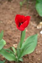 Tulipe rouge par Carl FOUGERAS sur L'Internaute