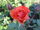 Rose (daniel gelin) par Jean-pierre MARRO sur L'Internaute
