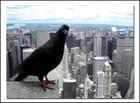 Pigeon vole - Frederic MARIEE