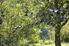 Pigeon vole - Claude GARNIER
