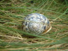La coquille -
